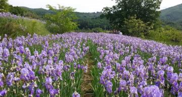 Gli iris di Pruneti