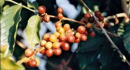 La raccolta del caffè in Guatemala