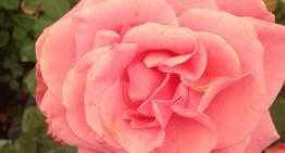 Pistoia Rose Barni